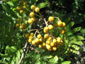 Tree of the Week Sorbus berries yellow