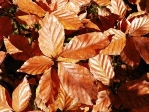 Tree of the Week Common Beech autumn leaf
