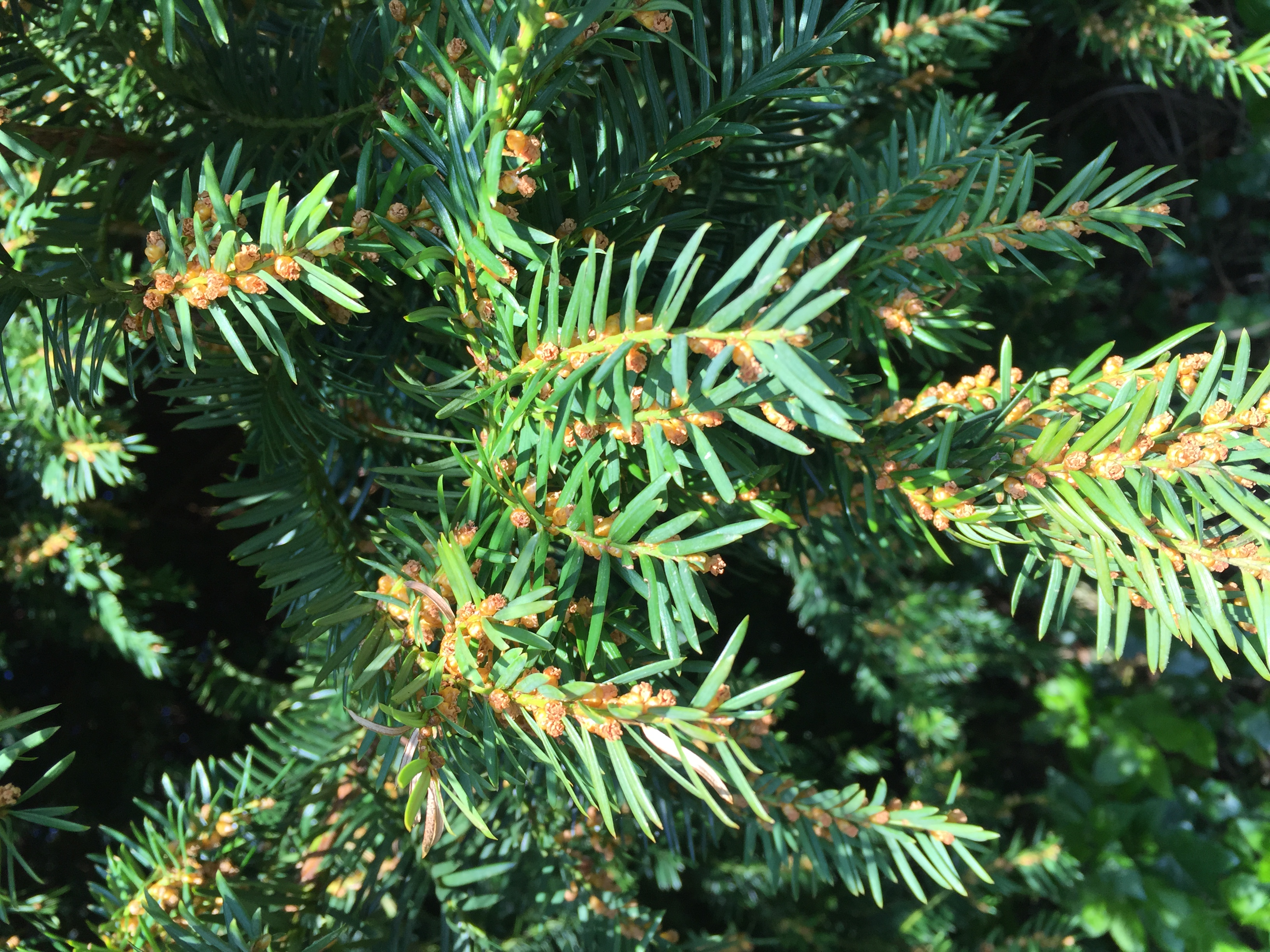 Tree of the Week - Common Yew
