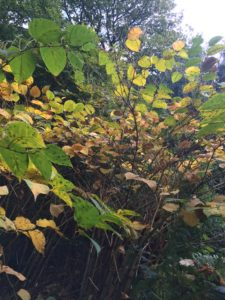 Tree Heritage can deal with your Japanese Knotweed