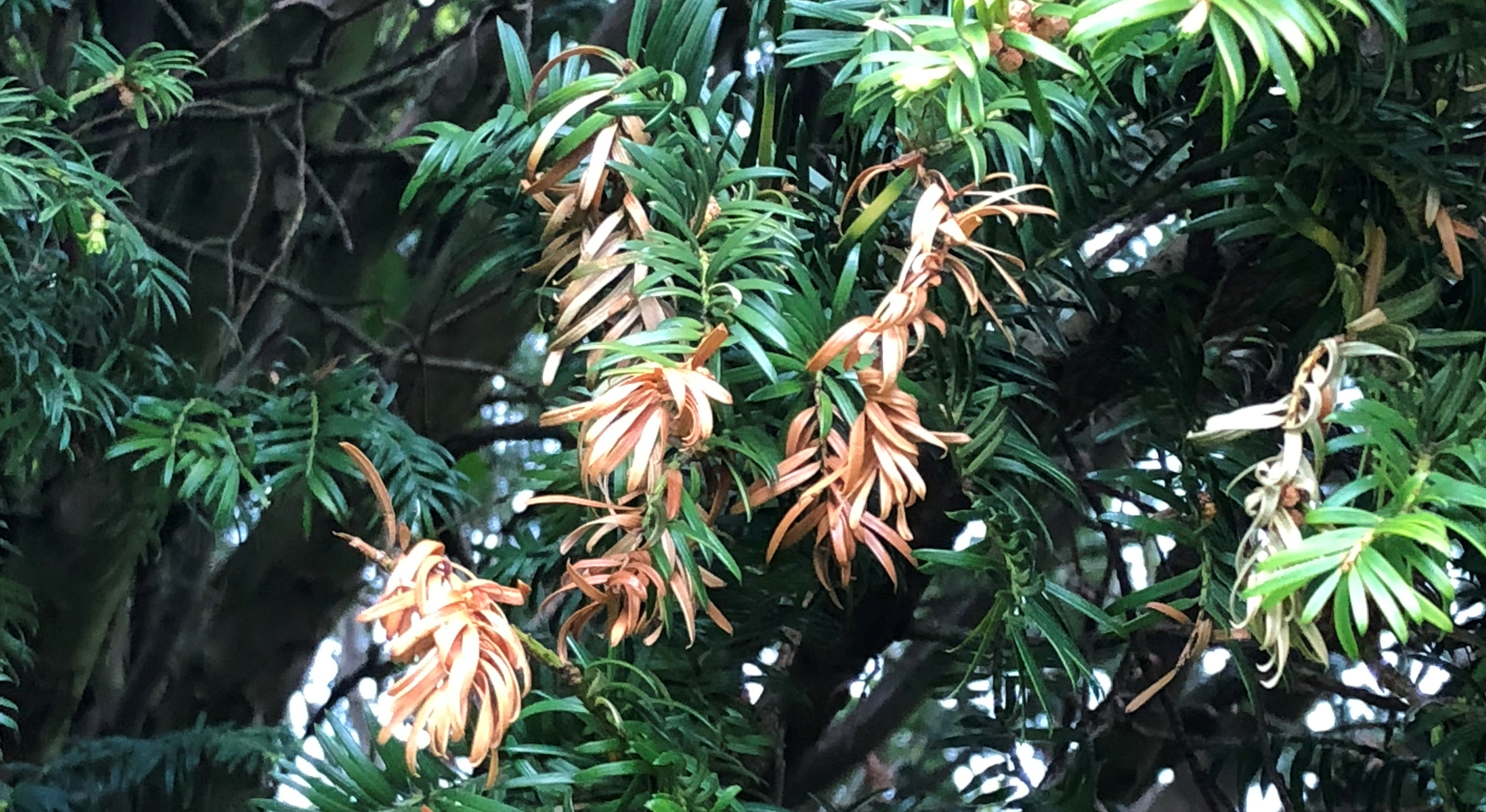 Close-up-of-Yew-needles-showing-damage